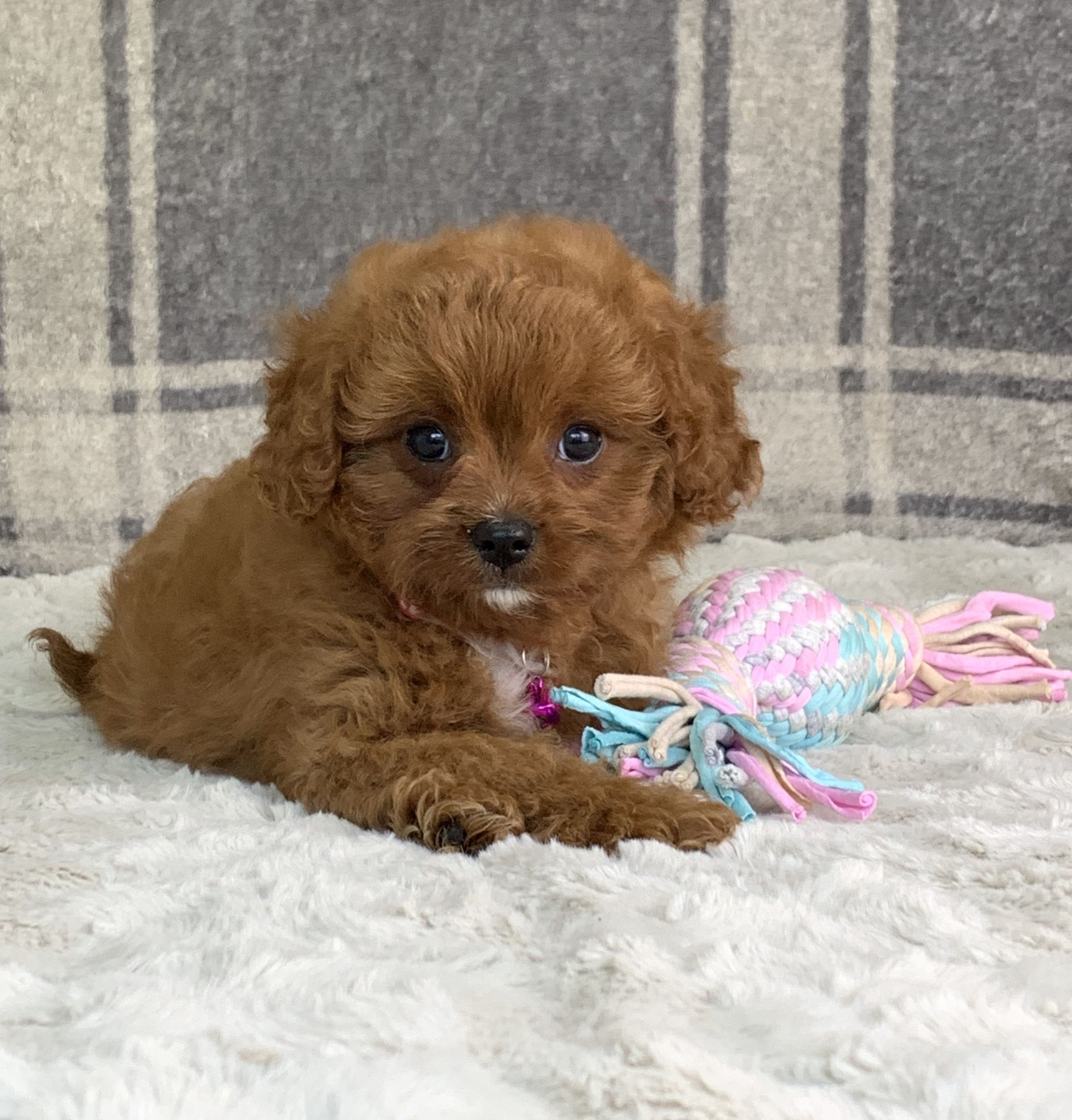 Protective Cavapoo Cavapoo Puppies Puppy Adoption Dog Breeder