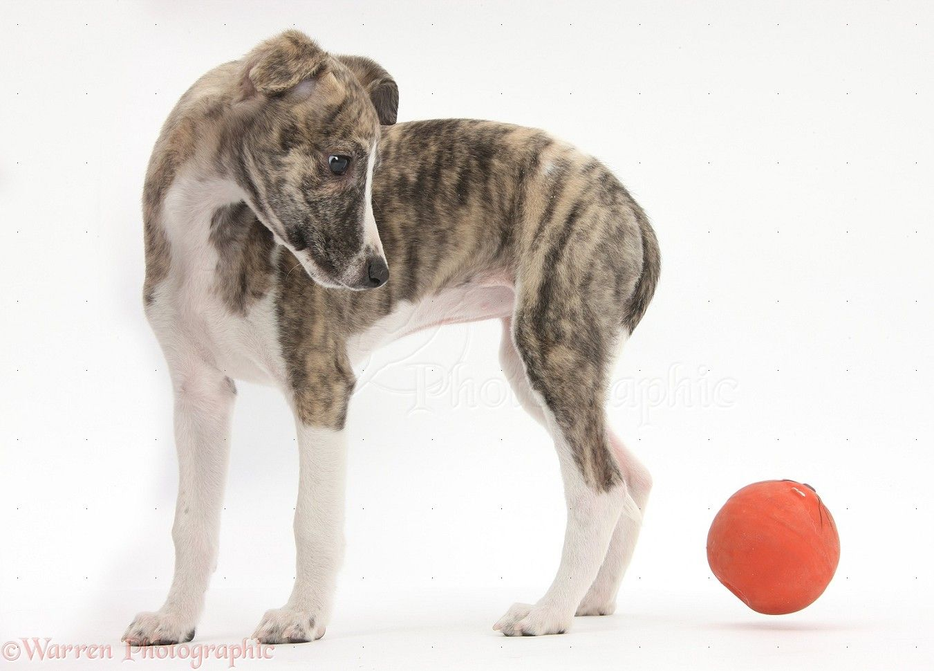 Brindle And White Whippet Pup Whippet Greyhound Puppy Italian Greyhound Puppies