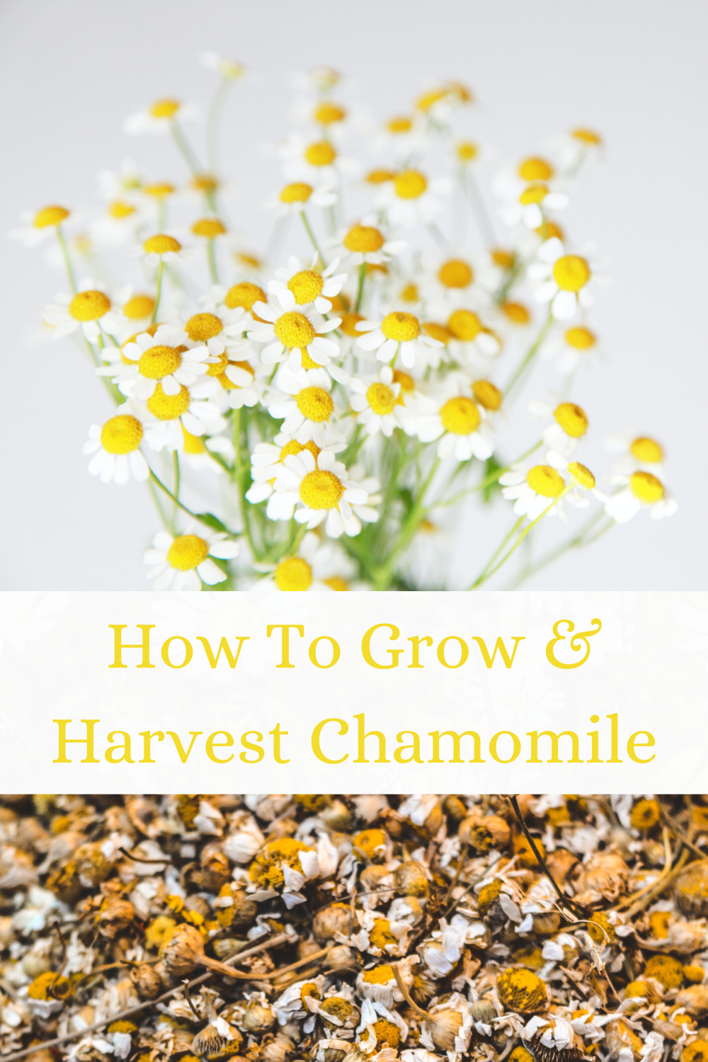 Chamomile Growing In 4 Easy Steps Chamomile Growing Growing Herbs Outdoors Culinary Herbs