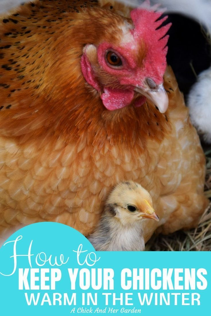 How To Keep Your Chickens Warm In The Winter   Chickens ...