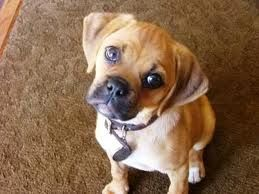 Ahhh My Chuggle Puggle Does This When You Talk To Him Very Cute