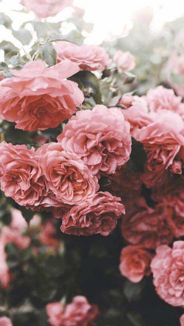 𝚙𝚒𝚗𝚝𝚎𝚛𝚎𝚜𝚝 𝕥𝕙𝕖𝕙𝕒𝕟𝕟𝕒𝕙𝕣𝕦𝕥𝕙 Flower