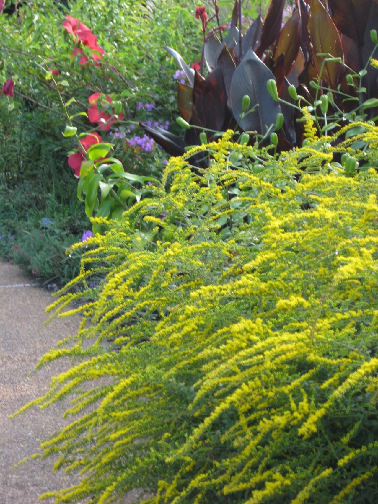Festive Fireworks Goldenrod Gardeningflower Planting