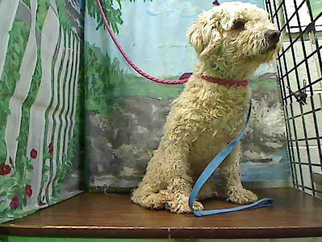 No Longer Listed California Id A432006 Is A 2yo Miniature Poodle Mix At Animals Animal Shelter Find Pets