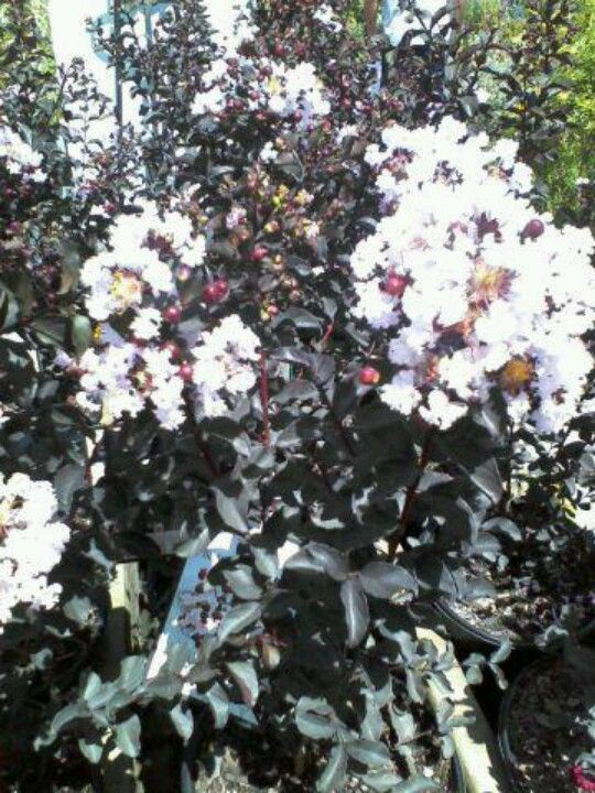 Black Diamond Quot Blush Quot Crepe Myrtle Beautiful Plants