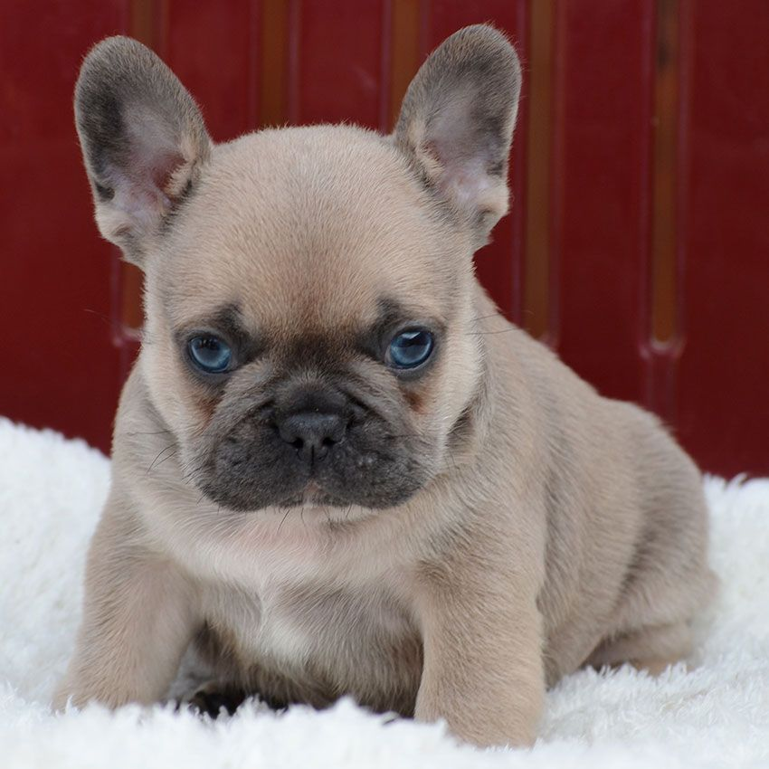 Our Breeding French Bulldog Puppies French Bulldog French
