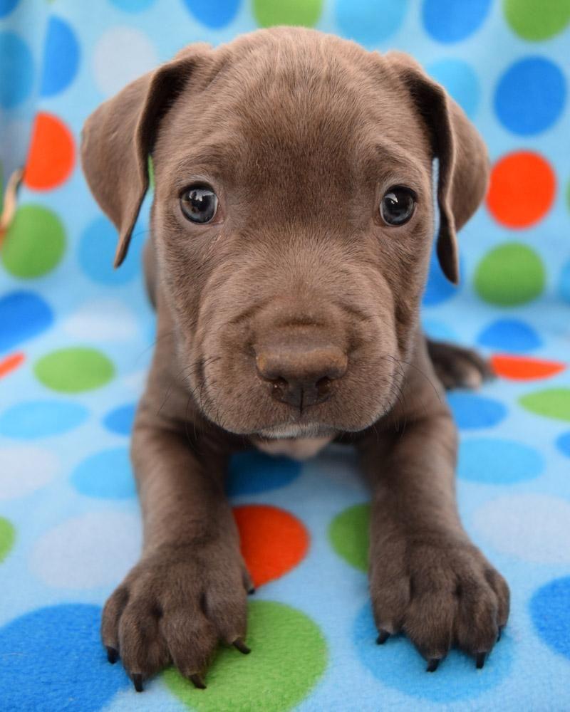 Adopt CoCo on Labrador retriever, Pup, Pets