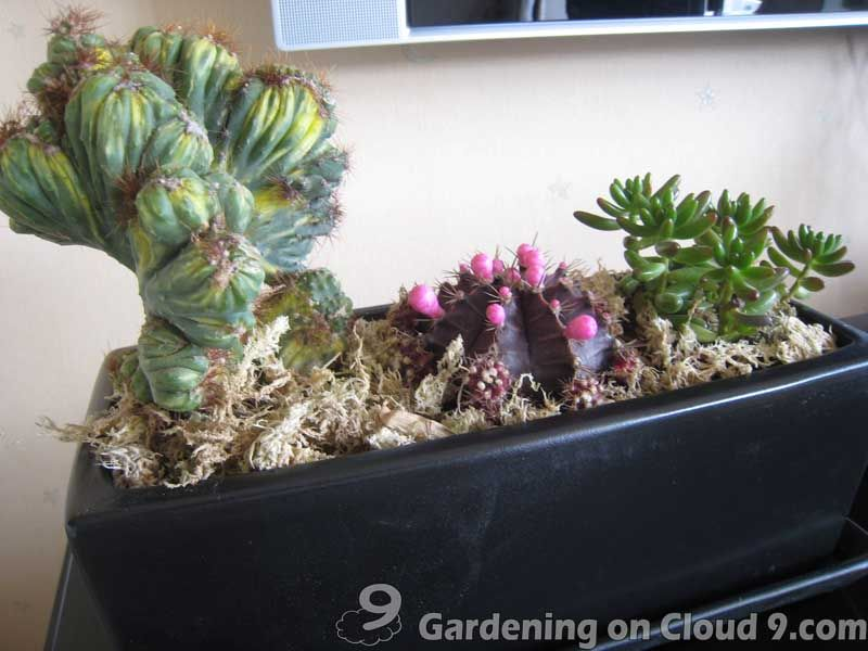 Cactus Miniature Garden Diy decorating and crafts