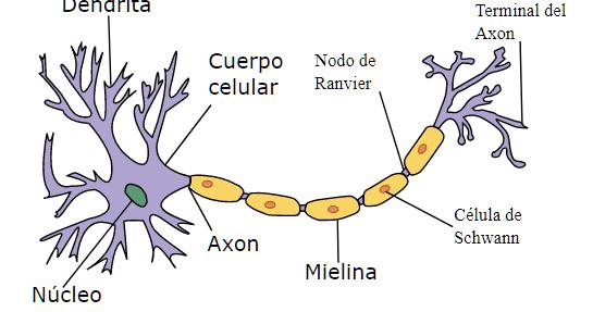 Sistema Nervioso Humano Explicado Facil Tejido Nervioso Sistema Nervioso Humano Dibujo Del Sistema Nervioso