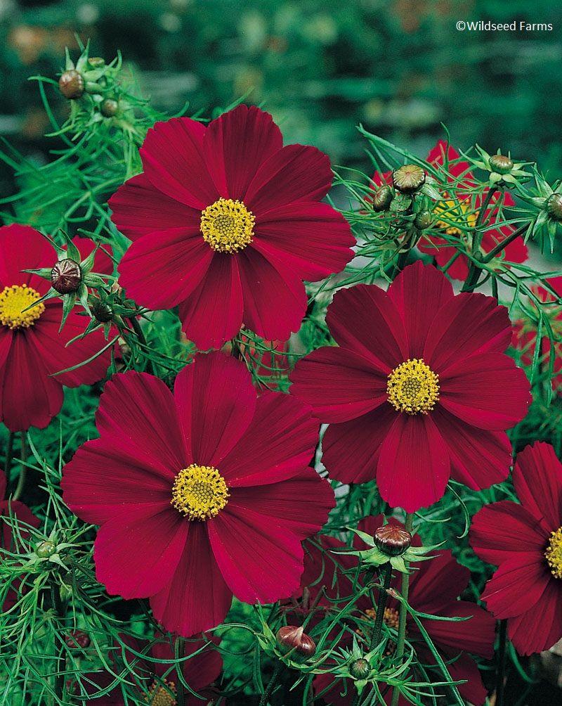 Cosmos tetra versailles red wildseed farms flowers plants and how cosmos tetra versailles red wildseed farms flower seeds onlinechocolate cosmosannual izmirmasajfo