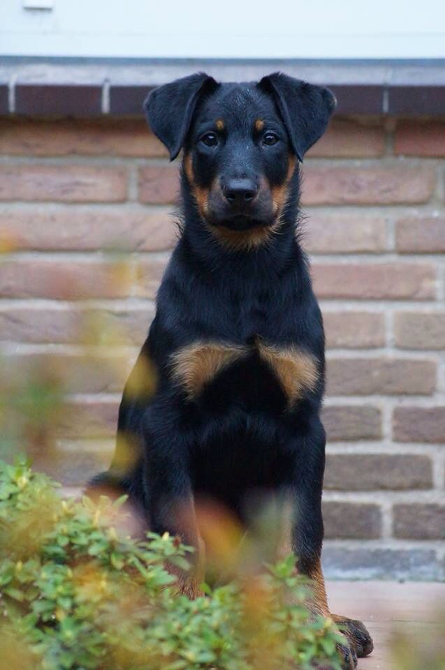 Beauceron Puppy 3 Rocket Looked Just Like This With A Touch Of