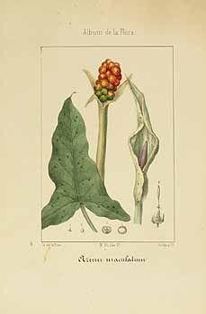 157736 Arum maculatum L. / Martin de Argenta, V., Album de la flora médico-farmacéutica é industrial, indígena y exótica, vol. 3: t. 80 (1864) [M. Alcalde]