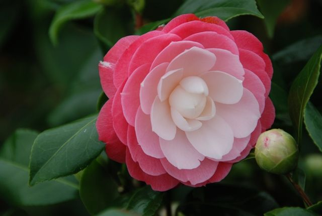 1000 Images About Camellias On Pinterest Jim O 39 Rourke Php And Flower Lover Beautiful Flowers Planting Flowers