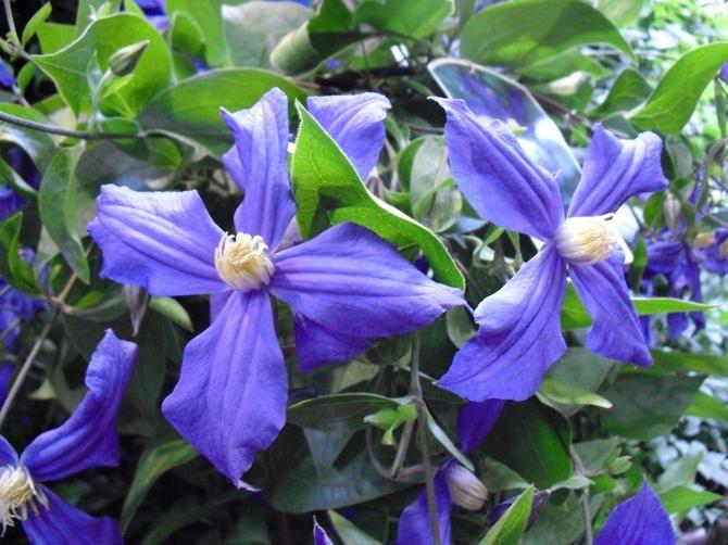 Powojnik Duranda Clematis X Durandii Byliny Baza Roslin Rosliny Urzadzamy Pl Clematis Climbing Plants Plants