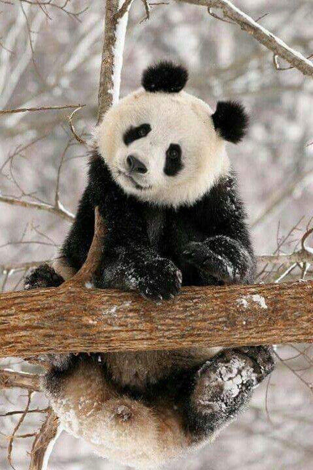 Pin Von Gigi Auf Panda Baren Rot Und Schwarz Weiss Gif S Mit Bildern Susse Tiere Wilde Tiere Pandas