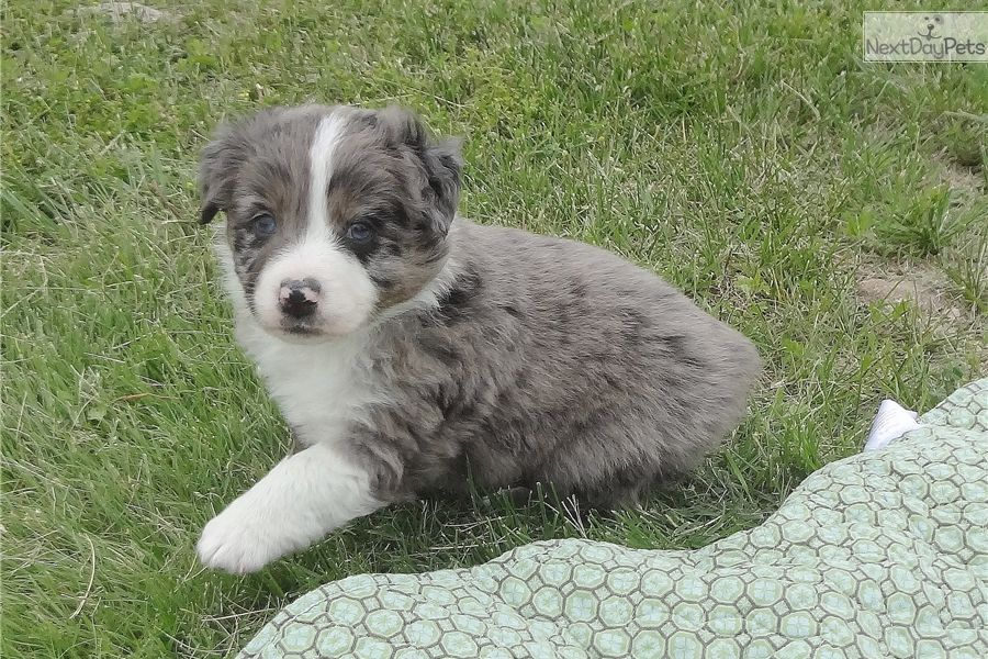 I am a cute Australian Shepherd puppy, looking for a home