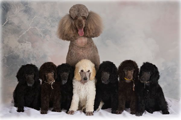 Standard Poodle Puppies Bing Images Poodle Puppy Standard Poodle