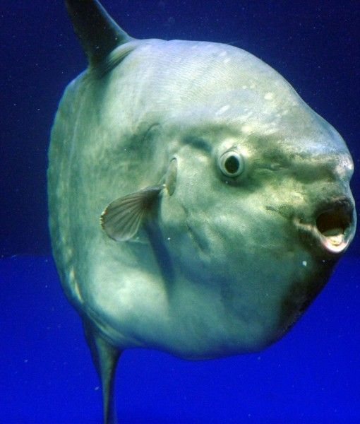 Ocean Sunfish Averaging 2 200 Pounds The Ocean Sunfish Is The