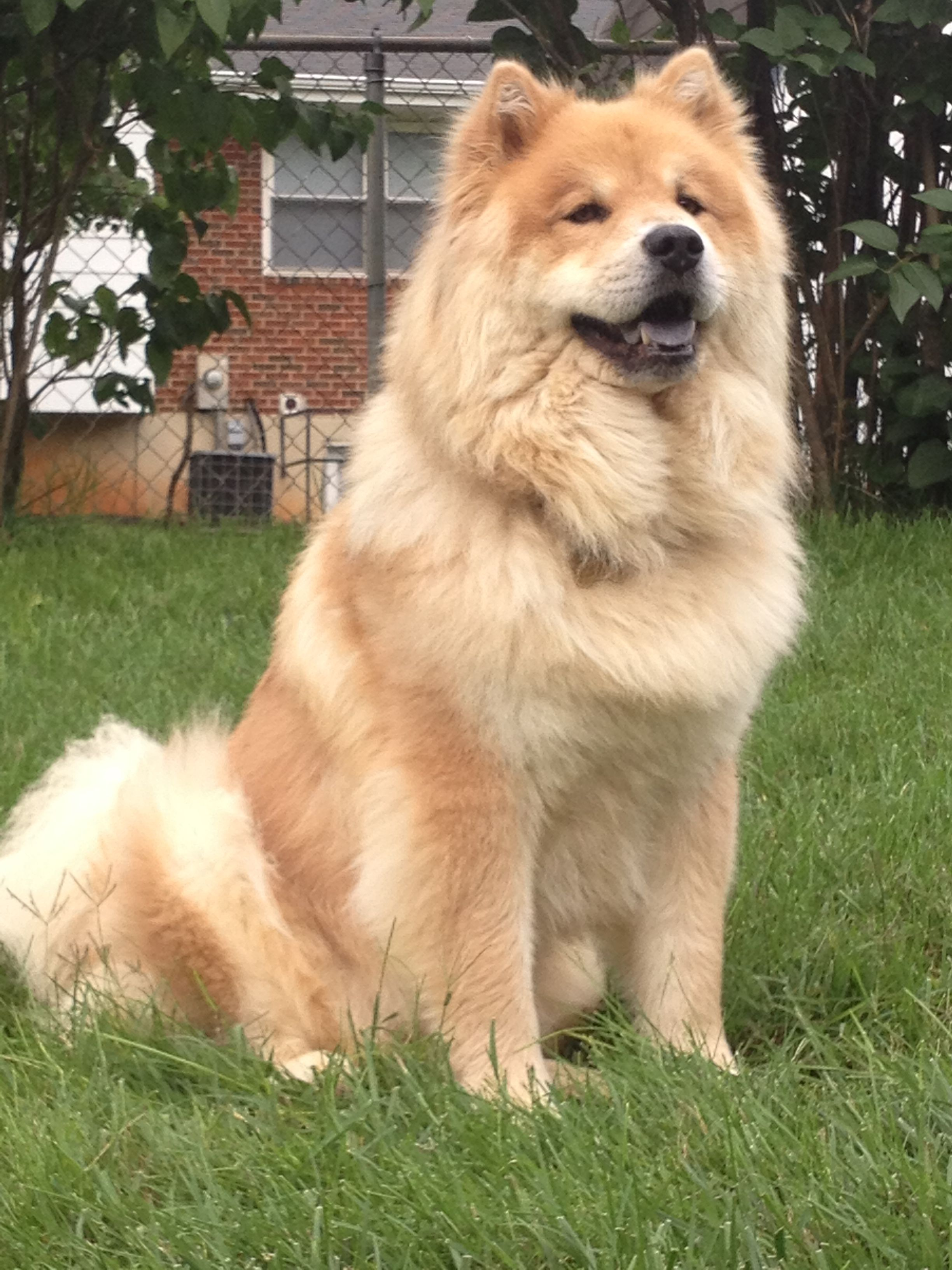 My Chow Chow Tuesday Chow Chow Dogs Chinese Dog Dog Lovers