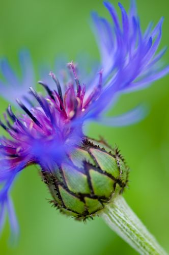Bachelor Button Side View Of Thistle With Images Amazing Flowers Garden Photos Pretty Flowers