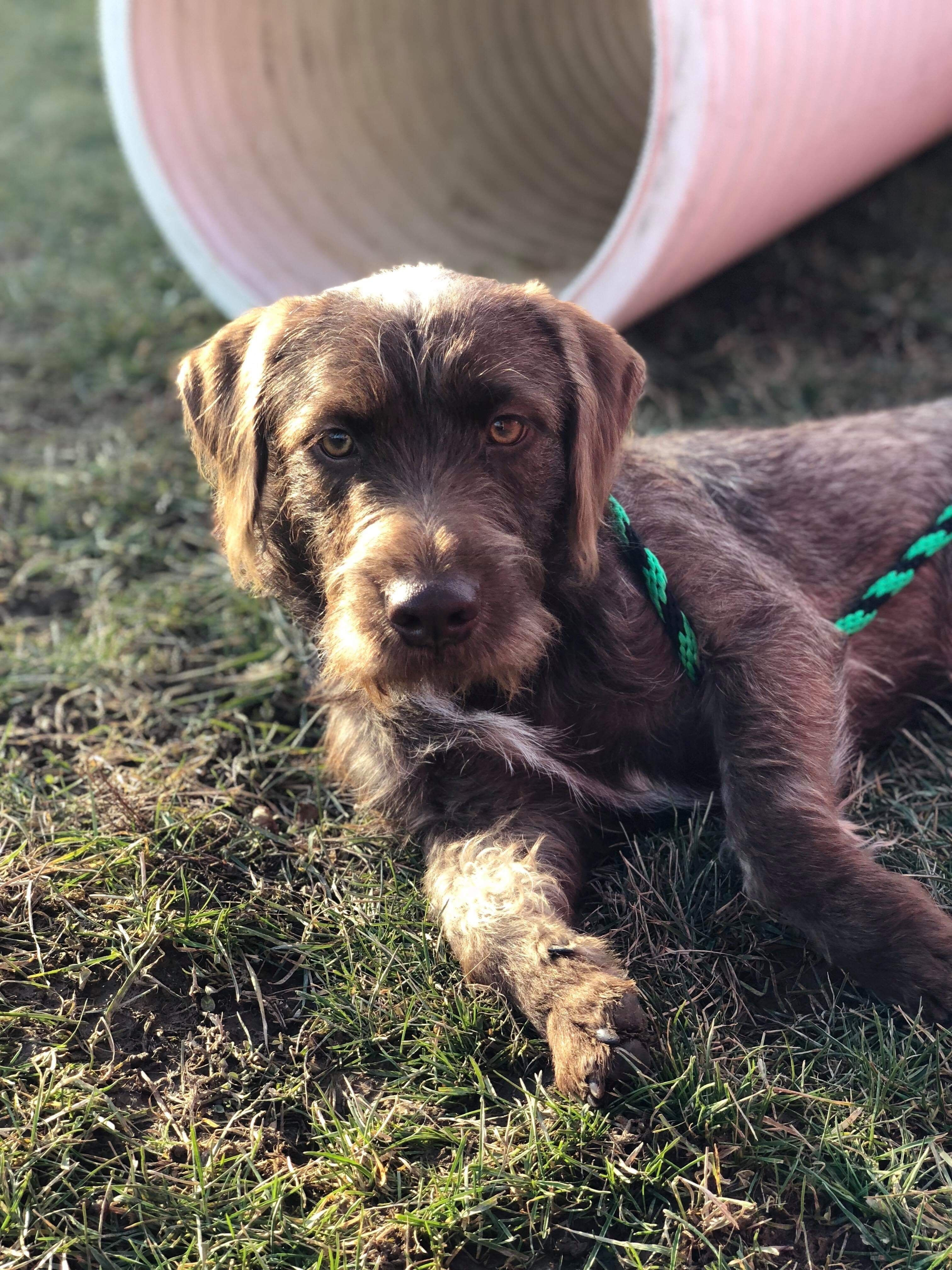 Adopt Mace on Puppies, Pets, German wirehaired pointer