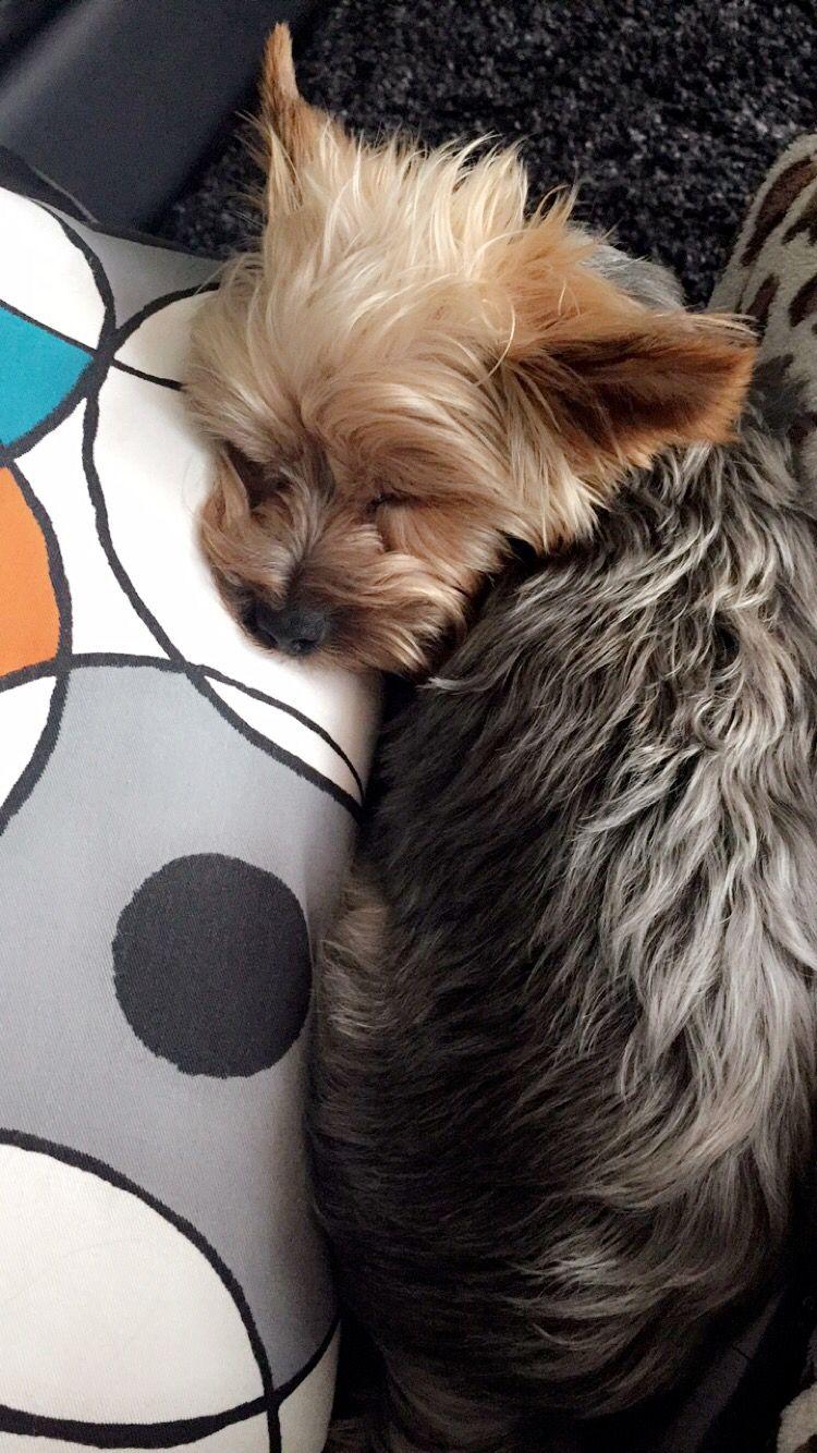 Cute yorkie baby sleeping
