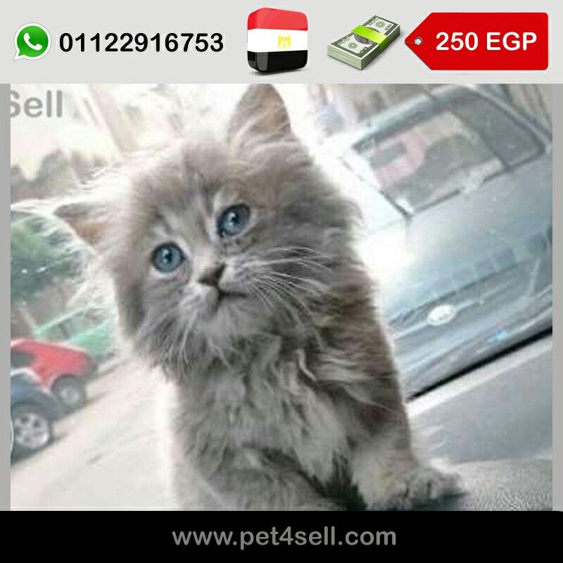 Egypt Cairo 45 Days Cat Baby Boy His Very Friendly Food Type He Eats Anything Pet4sell Cats Animals Types Of Food