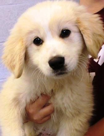 Humphrey Is An Adoptable Golden Retriever Great Pyrenees Dog In Oswego Il Available 11 7 I Will Be Yorkville Awaiting My Forever Home