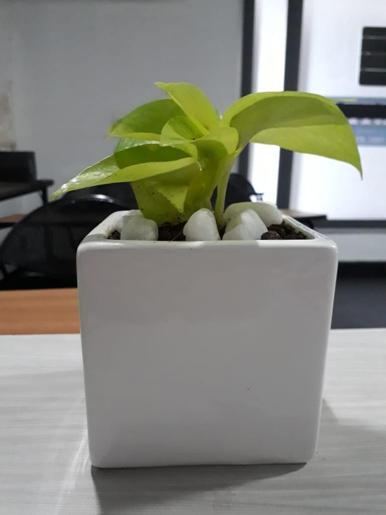 Money Plant With Ceramic Pot Ceramic Money Plant Pot In 2020 Ceramic Pot Plants Money Plant