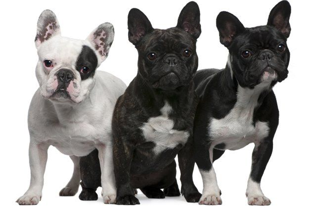 Top 10 Therapy Dog Breeds Cute French Bulldog French Bulldog