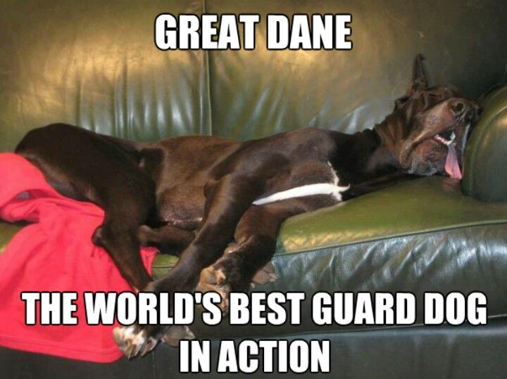 Oh How True This Is Lol Great Dane Dog Sleeping Sofa Funny
