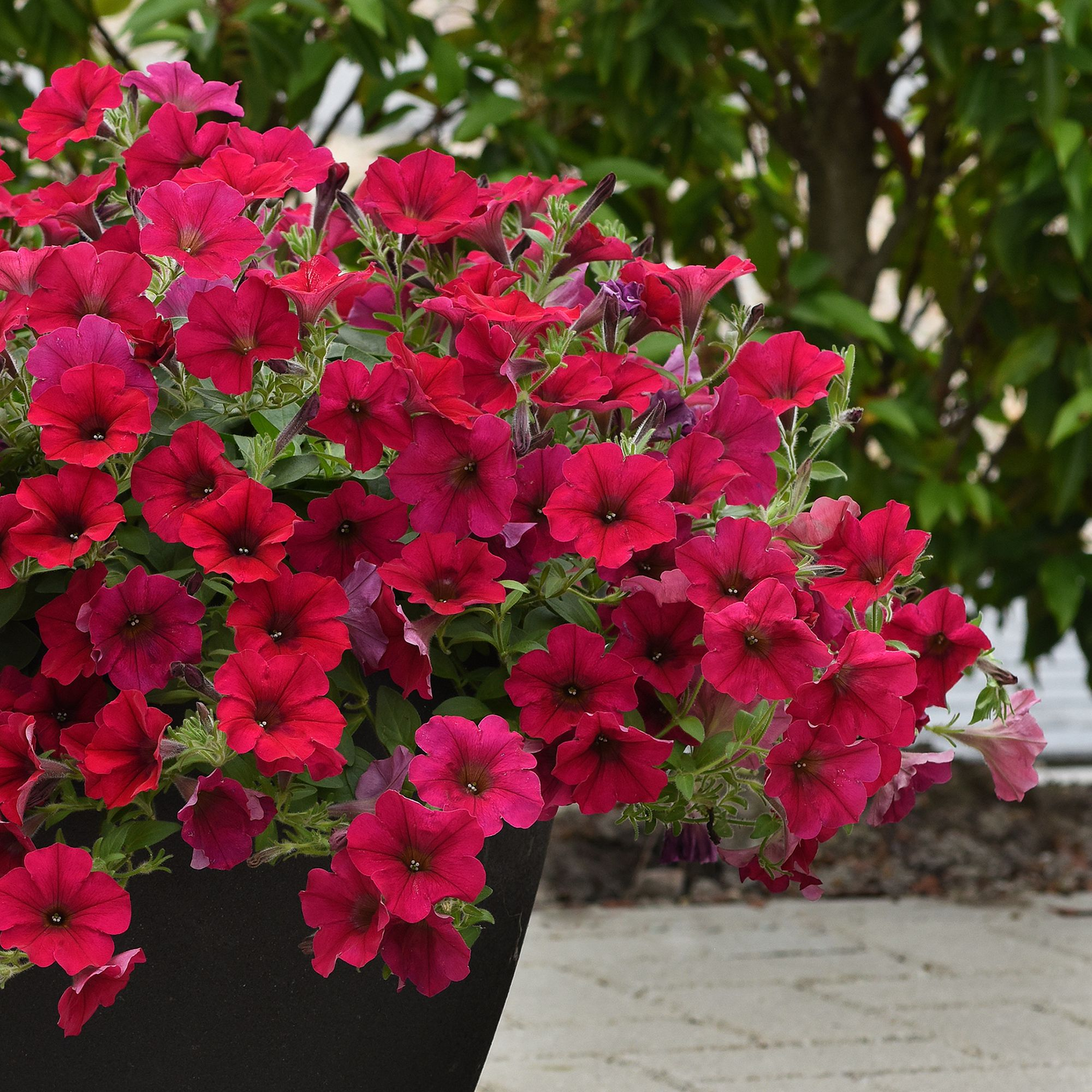 Petunia Wave Carmine Velour F1 All America Selections In 2020 Petunias Annual Flowers Flower Seeds