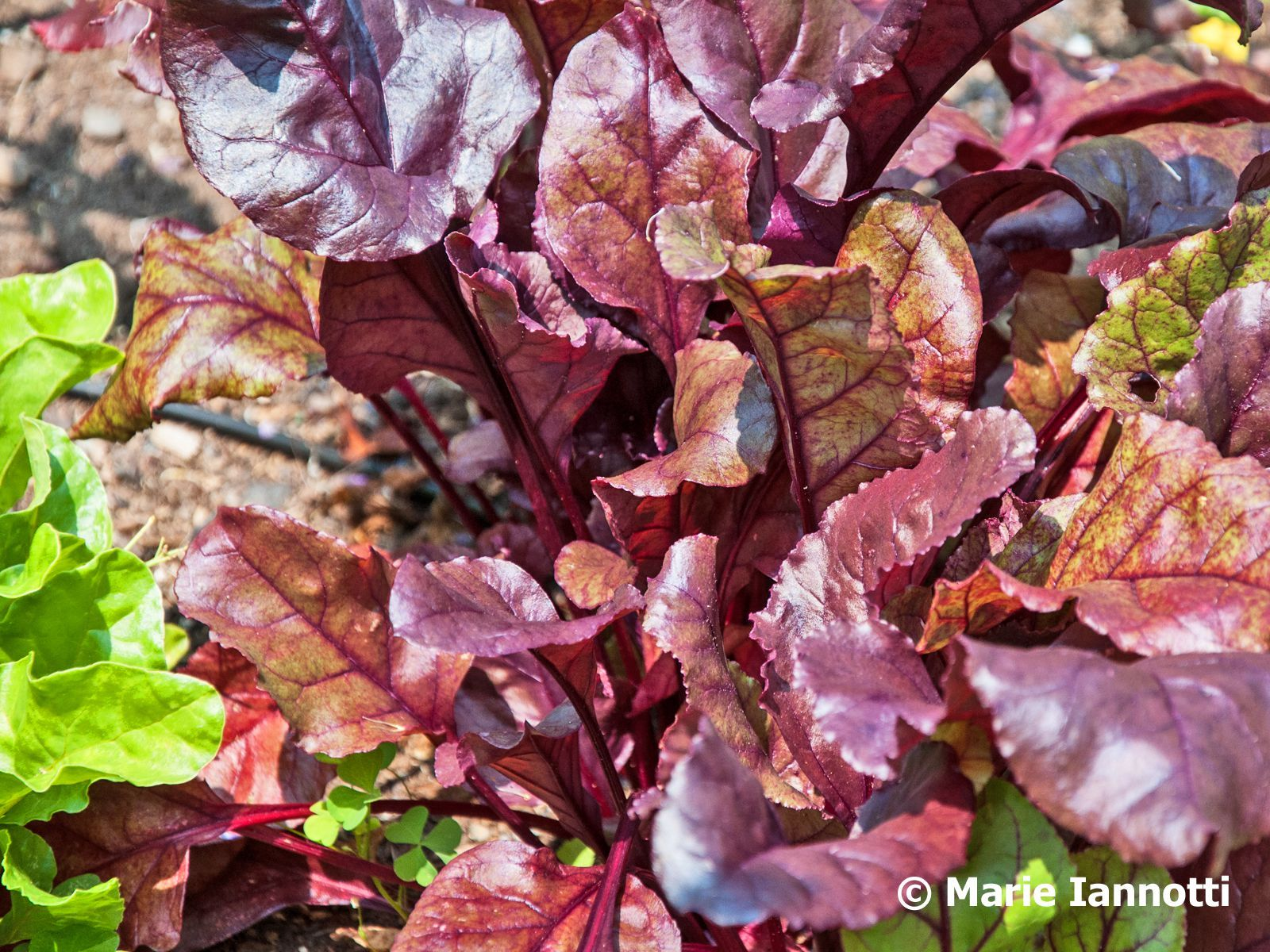 Vegetables That Grow In Partial Shade Plants Growing 400 x 300