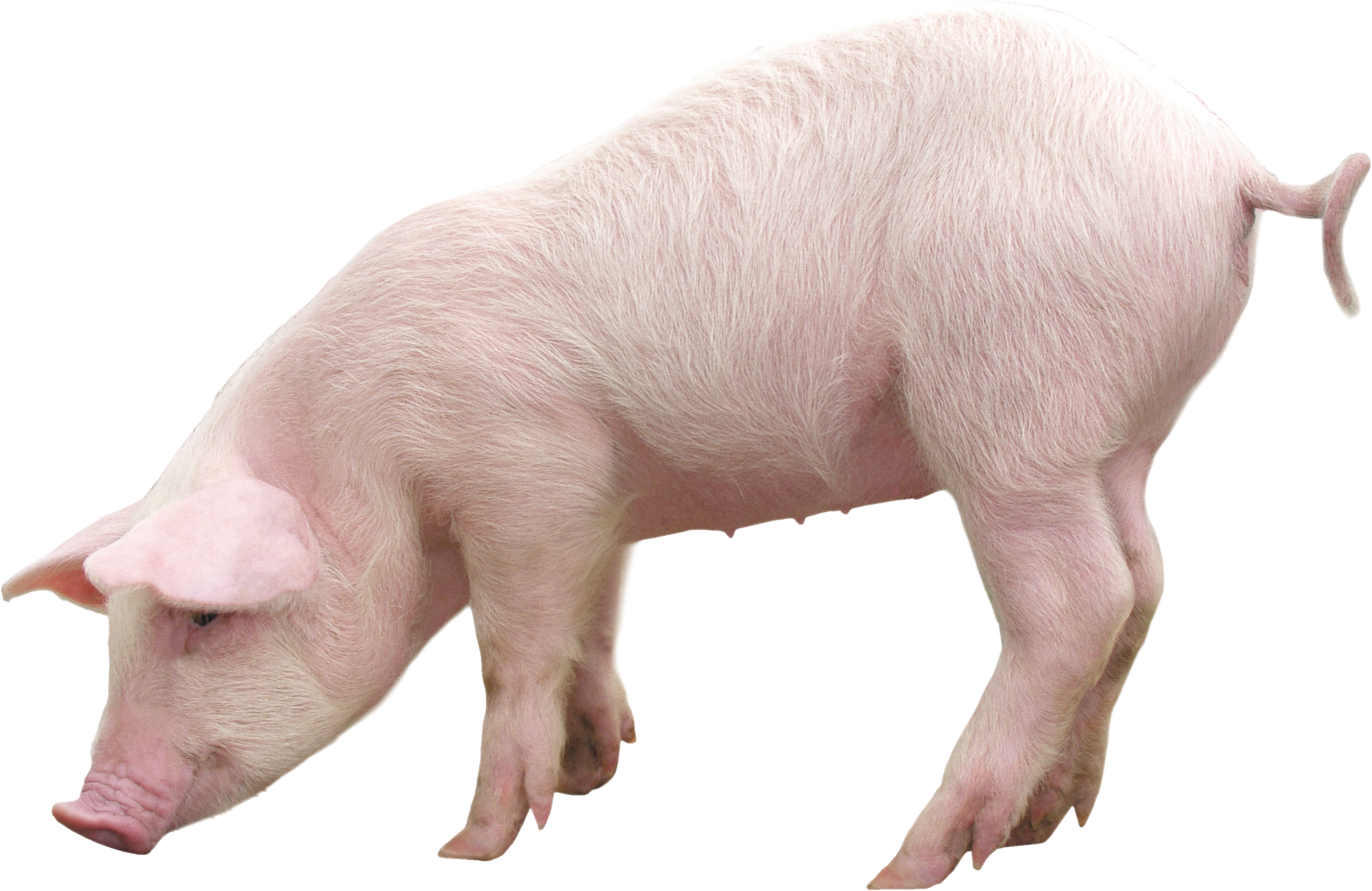 pig PNG image image with transparent background | Animal clipart, Pig