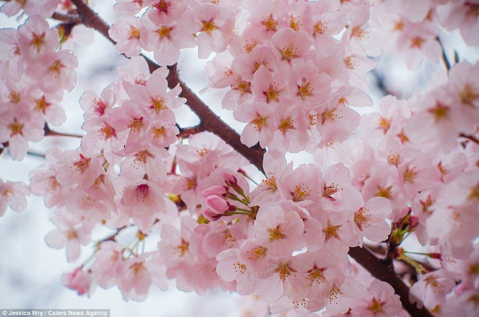 Stunning Cherry Blossoms In Full Bloom In Japan And South Korea Flowering Plum Tree Blossom Cherry Blossom Tree