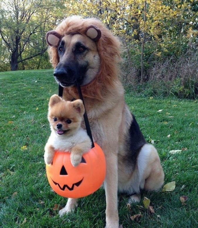 Lion Dog And His Halloween Treat Cute Animals Cute Dogs Dog