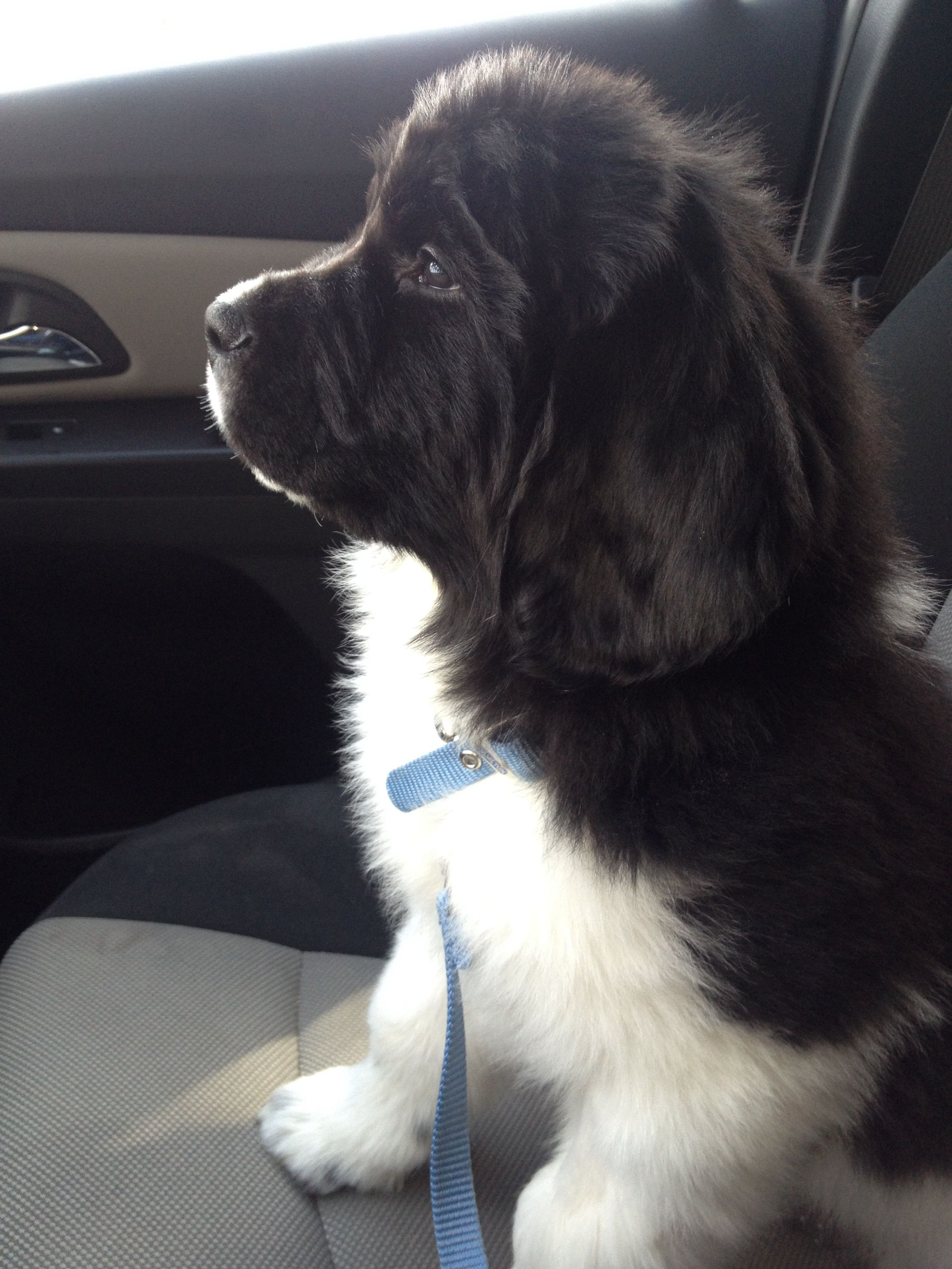 Sully Our Newfoundland Puppy At 8 Weeks Old With Images