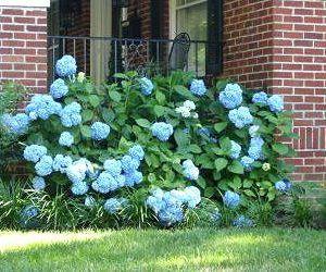 Blue hydrangea in yard next to house.