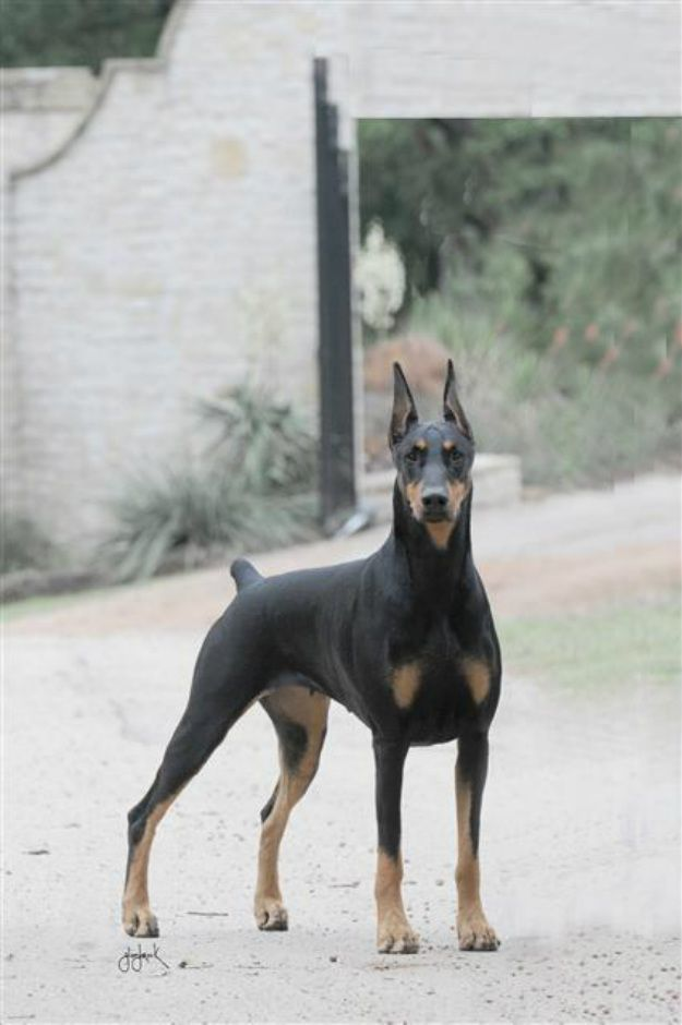 Texas Breeder Horizon Dobermans Doberman Doberman Breeders