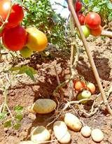 tomato plant grafting - Yahoo Image Search Results