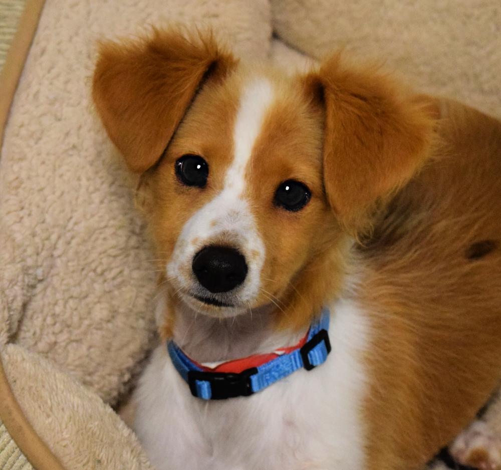 Adopt Kody On In 2020 Animal Rescue League Greyhound Dog Rescue Grey Hound Dog