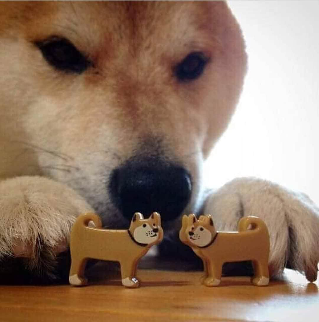 Primova Pet Products Dog Cat Pictures Shiba Inu Cute Animals