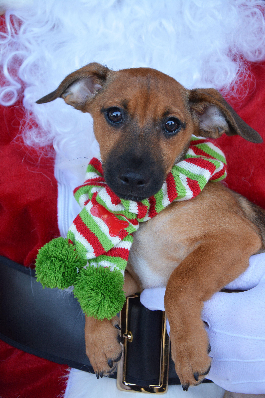 Chiweenie Dog For Adoption In San Antonio Tx Adn 738771 On