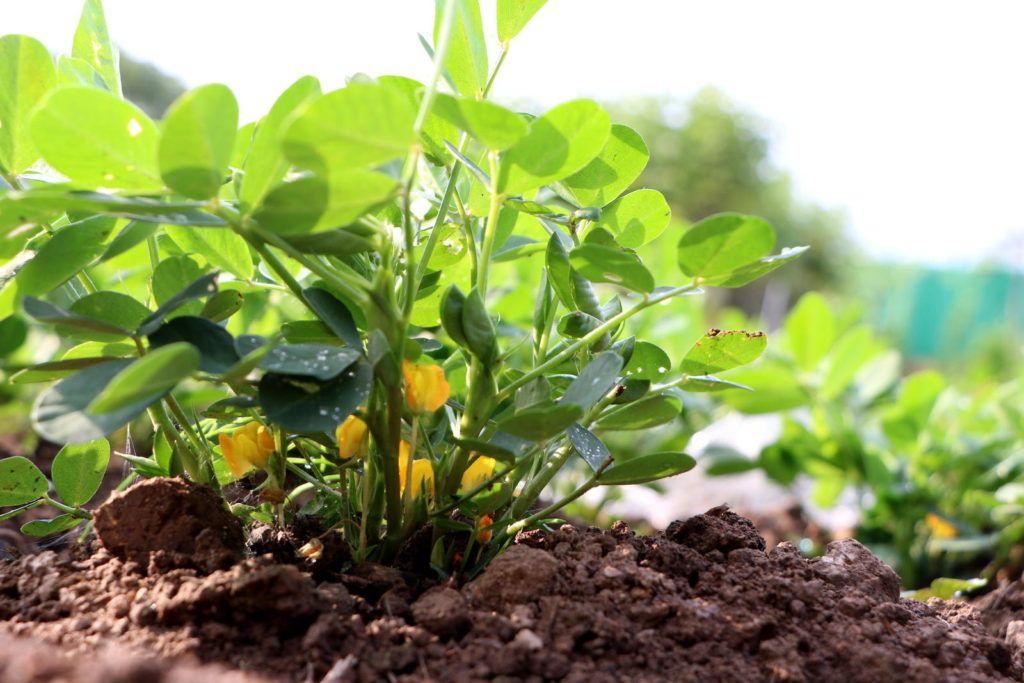 Erdnusse Anbauen Pflegen Ernten Plantura Pflanzen Erdnuss Garten Anpflanzen