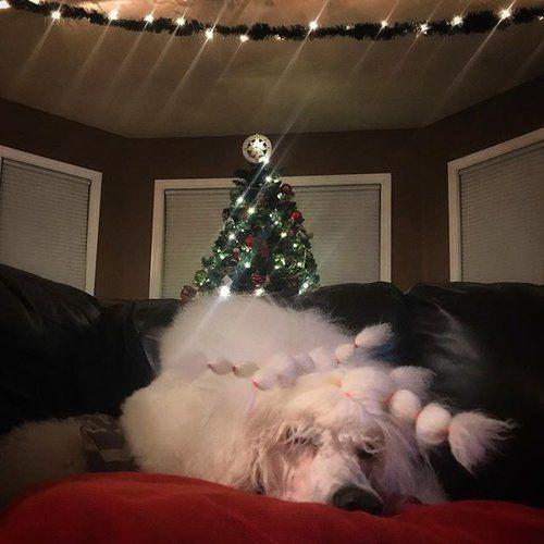 Dreaming of sugar plums  . . . . #dulcepali #christmas #poodle #christmaspoodle #holidays #lights #christmastree #whitepoodle #homesweethome