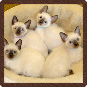 B D Siamese Cattery Siamese Cats Blue Point Siamese Kittens