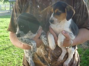 2 Males 2 Females Is An Adoptable Beagle Dog In Richland Center
