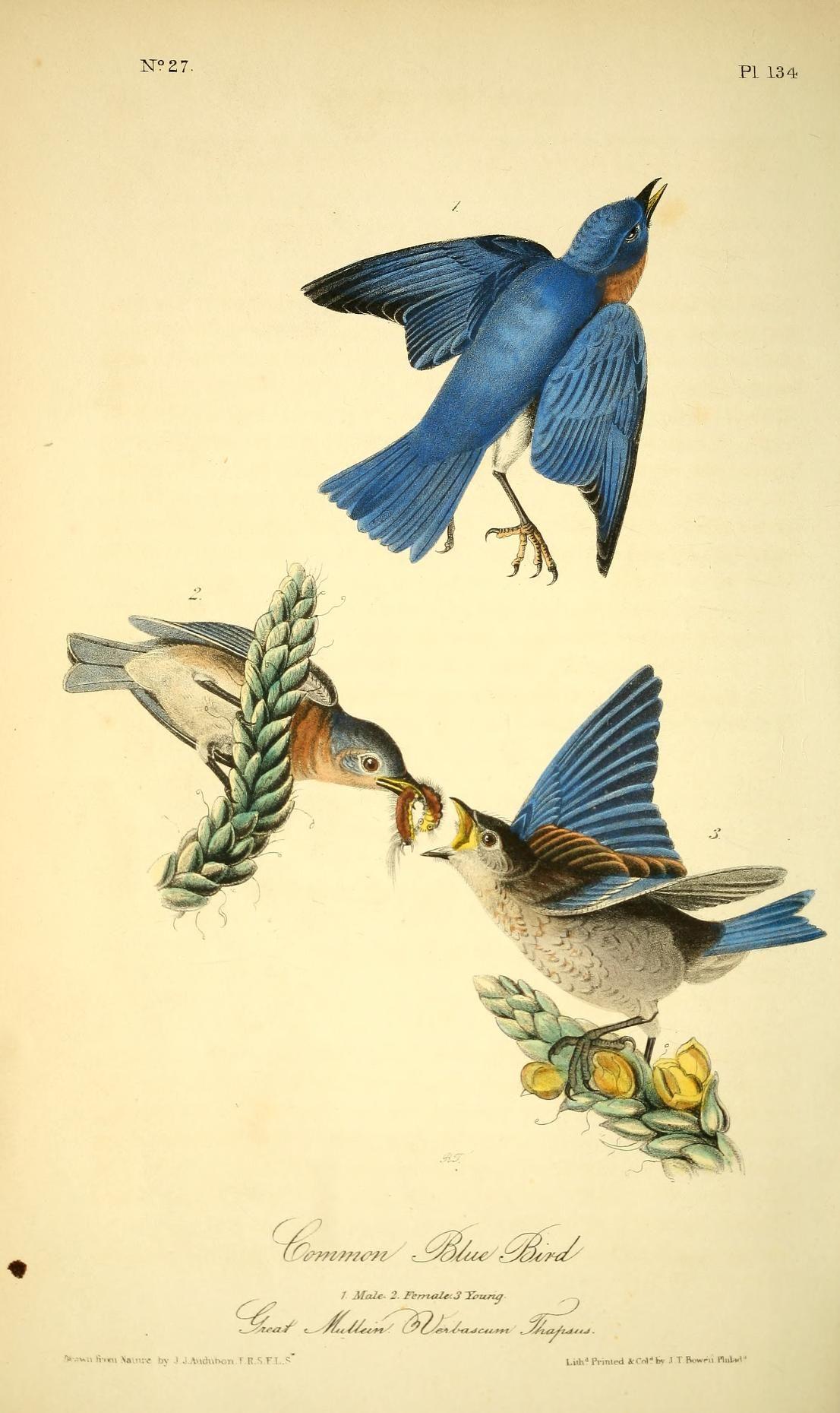 v 2 - The birds of America by John J Audubon : - Biodiversity Heritage Library  -  Common Bluebird