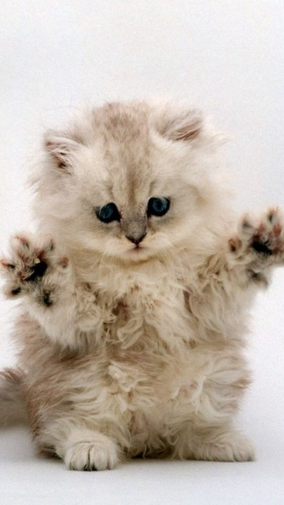 Download Free Cute White Cat Wallpapers For Your Mobile Phone Cat Wallpaper Cats Cat Phone Wallpaper Cute white cat wallpaper for cellphone