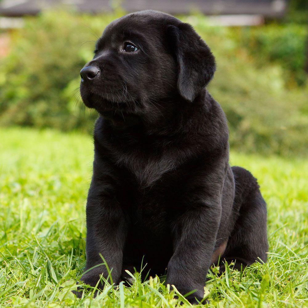 Black labrador puppy photos labrador retriever pinterest